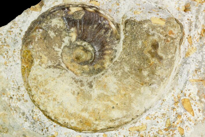 "1.7"" Ammonite Fossil - Boulemane, Morocco"