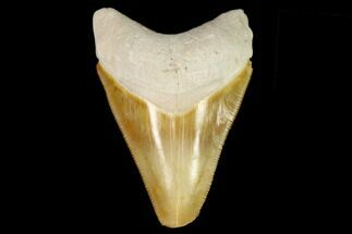 "Buy Serrated, 2.79"" Fossil Megalodon Tooth - Florida - #122554"