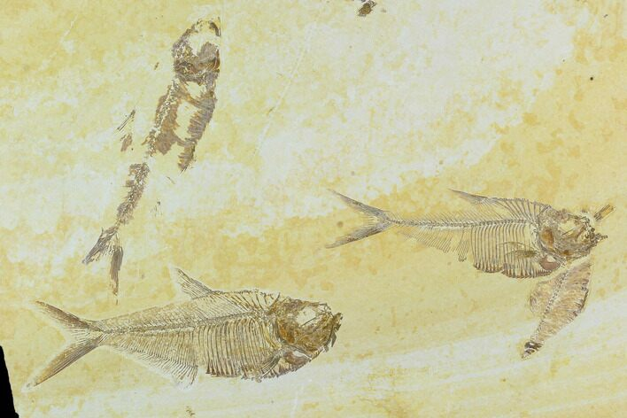 Fossil Fish Plate (Diplomystus And Knightia) - Green River Formation