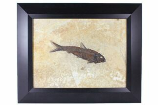 "Buy 7"" Framed Fossil Fish (Knightia) - Wyoming - #122641"
