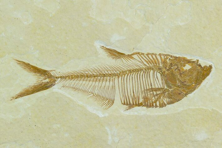 "3.5"" Fossil Fish (Diplomystus) - Green River Formation"
