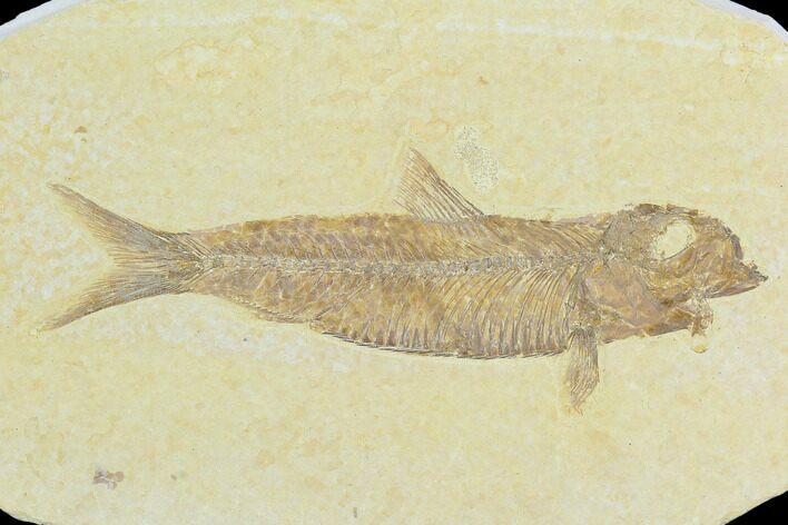 "3.5"" Fossil Fish (Knightia) - Green River Formation"