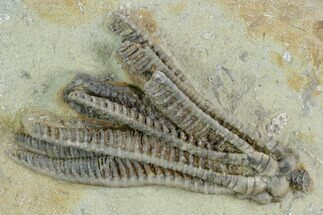 Decadocrinus tumidulus - Fossils For Sale - #122976