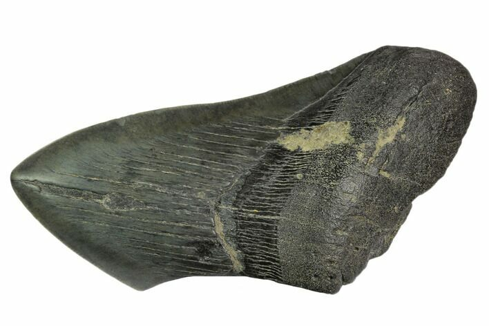"5.11"" Partial Fossil Megalodon Tooth"