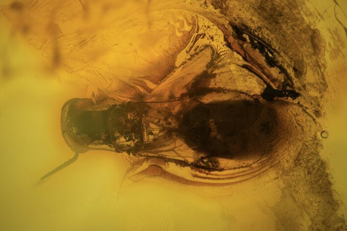 4mm Fossil Wasp (Hymenoptera) In Baltic Amber