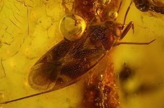 Buy 2.4mm True Bug (Heteroptera) In Baltic Amber - Great Eyes - #123409