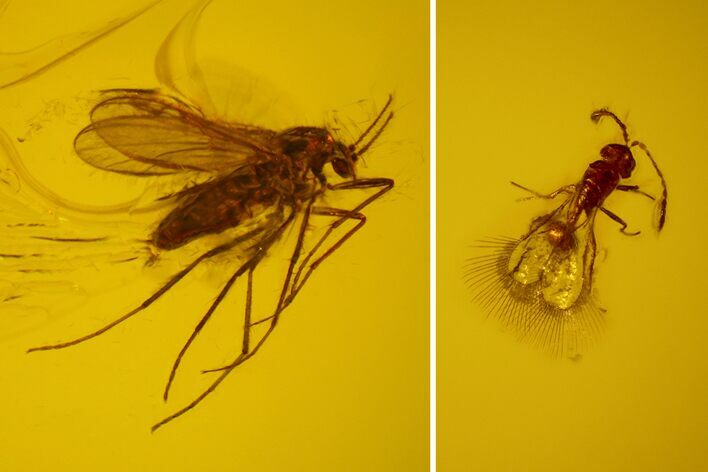 3mm Fossil Fly & Wasp In Baltic Amber