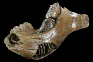 "15.2"" Woolly Mammoth Jaw Section - Germany For Sale, #123608"