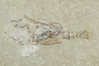 "1.4"" Cretaceous Lobster (Eryma) Fossil - Lebanon For Sale, #124001"