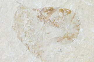 Carpopenaeus callirostris - Fossils For Sale - #123870