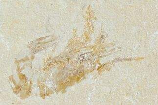 Carpopenaeus callirostris - Fossils For Sale - #123873