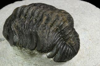 "Buy Bargain, 1.5"" Morocops Trilobite - Visible Eye Facets - #120094"