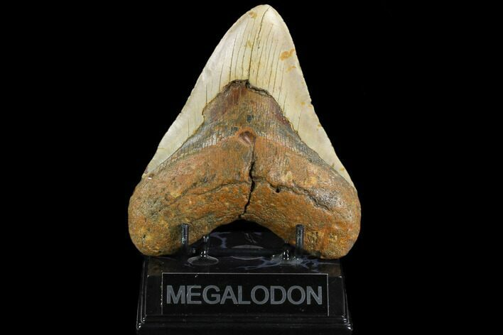 "5.26"" Fossil Megalodon Tooth - North Carolina"