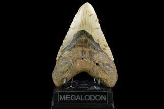 "Huge, 5.77"" Fossil Megalodon Tooth - North Carolina For Sale, #124415"