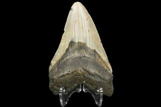 "Buy  4.19"" Fossil Megalodon Tooth - North Carolina - #124636"