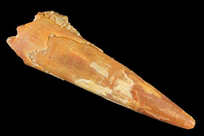 "1.24"" Pterosaur (Siroccopteryx) Tooth - Morocco"