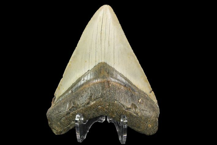 "4.00"" Fossil Megalodon Tooth - North Carolina"