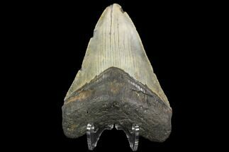 "4.36"" Fossil Megalodon Tooth - North Carolina For Sale, #124643"