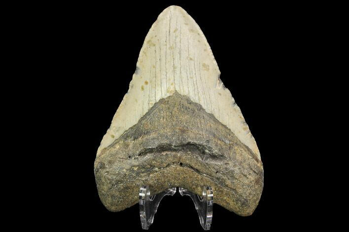 "4.12"" Fossil Megalodon Tooth - North Carolina"