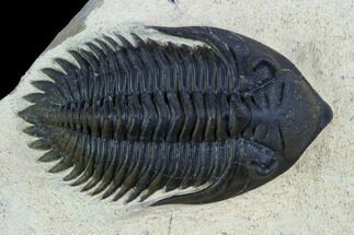 Metacanthina issoumourensis - Fossils For Sale - #125091