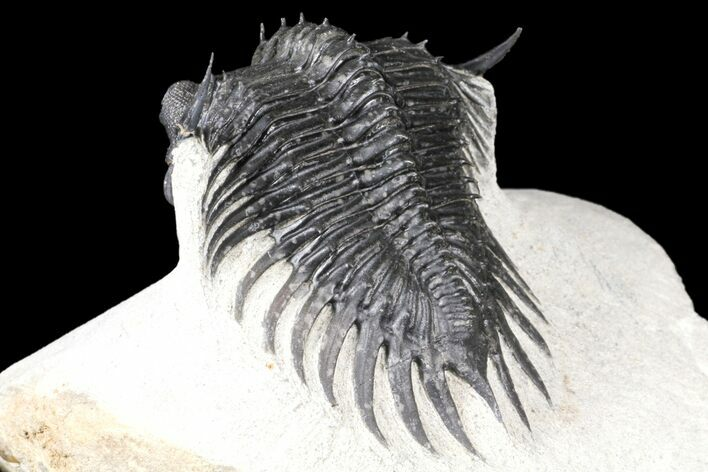 "2.3"" Spiny Saharops Trilobite - Excellent Shell Quality"