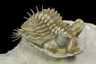 "2"" Tower Eyed Erbenochile Trilobite - Stunning! For Sale, #125141"