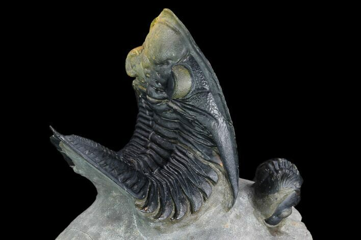 "4"" Zlichovaspis Trilobite With Reedops - Multi-Toned Shell"