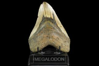 "Buy Huge, 5.58"" Fossil Megalodon Tooth - North Carolina - #124945"