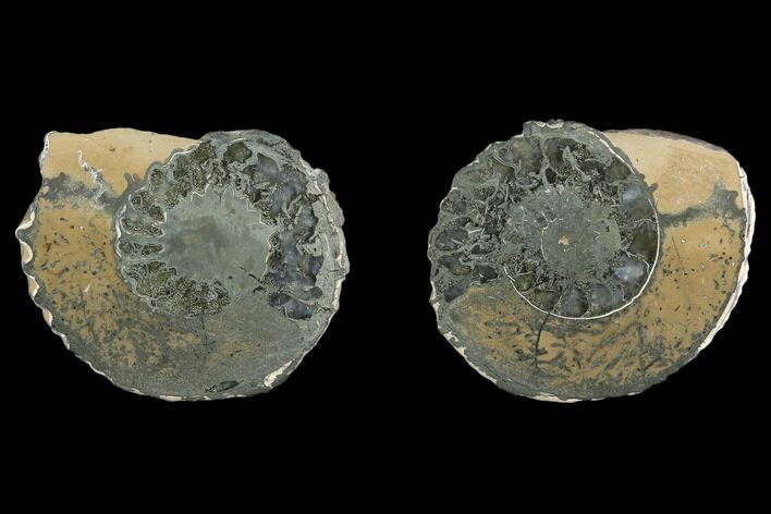 "1.5"" Cut Pyritized Ammonite (Pleuroceras) Fossil Pair - Germany"