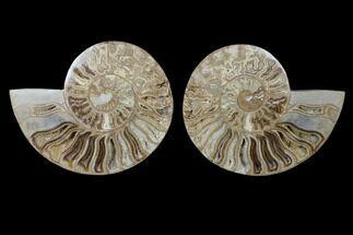 "9.35"" Daisy Flower Ammonite (Choffaticeras) - Madagascar For Sale, #125498"