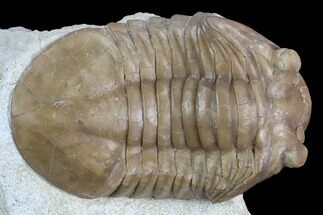 "2.65"" Asaphus Plautini Trilobite With Exposed Hypostome - Russia For Sale, #125696"