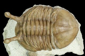 "1.65"" Stalk-Eyed Asaphus Kowalewskii Trilobite - Russia For Sale, #125633"