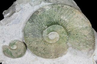 "1.9"" Ammonite (Orthosphinctes & Sutneria) Fossils on Rock - Germany For Sale, #125891"
