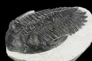 "Buy 2.65"" Detailed Hollardops Trilobite - Ofaten, Morocco - #126292"