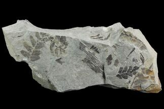Neuropteris flexuosa & Calamites sp. - Fossils For Sale - #126246
