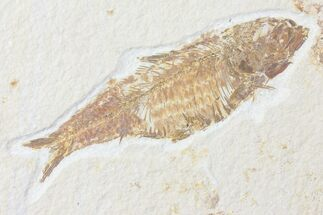 "Bargain, 4.3"" Fossil Fish (Knightia) - Wyoming For Sale, #126026"