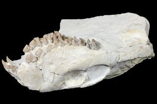 "6.2"" Oreodont (Merycoidodon) Partial Skull - Wyoming For Sale, #123182"