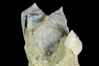 "Buy 3.3"" Tall, Miocene Fossil Gastropod Cluster - France - #113677"