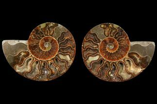Cleoniceras - Fossils For Sale - #125031