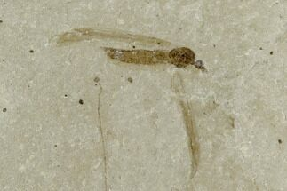 Pronophlebia redivivia - Fossils For Sale - #101580