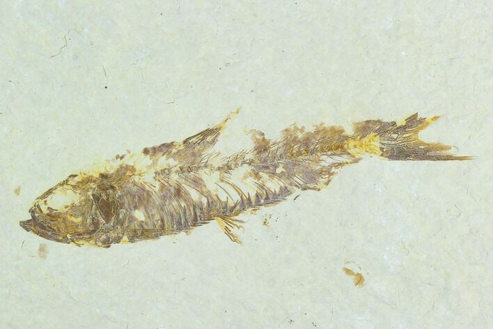 "Bargain 3.3"" Fossil Fish (Knightia) - Wyoming"