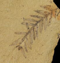 "Buy .9"" Dawn Redwood (Metasequoia) Fossil - Montana - #126613"