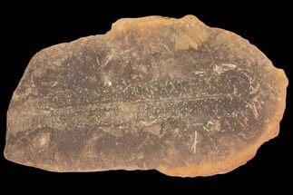 "Buy 2.3"" Fossil Fern (Pecopteris) Pos/Neg - Mazon Creek - #121048"
