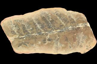 "3.6"" Fossil Fern (Pecopteris) - Mazon Creek For Sale, #121055"