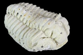 Calymene celebra - Fossils For Sale - #126825