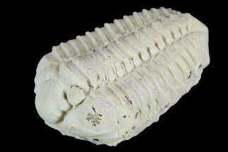 Calymene celebra - Fossils For Sale - #126834