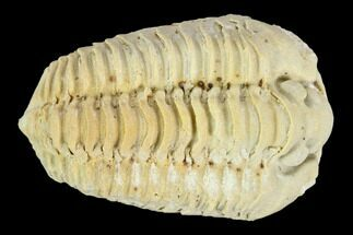 "1.25"" Calymene Celebra Trilobite - Illinois For Sale, #126839"