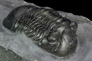"2"" Paralejurus Trilobite - Mrakib, Morocco For Sale, #127004"
