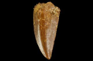 Unidentified - Fossils For Sale - #127065