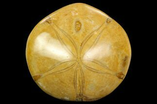 "2.55"" Polished Fossil Sand Dollar (Mepygurus) - Jurassic For Sale, #127337"